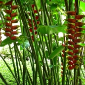 Long-stemmed hanging heliconia