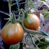 Bedouin Tomato Taste Test