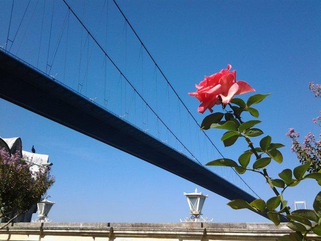 Rose and Bosphorus Bridge