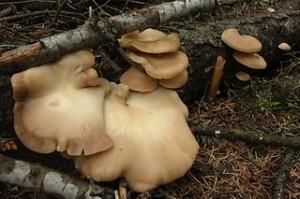 By Jason Hollinger (Oyster Mushroom  Uploaded by Amada44)