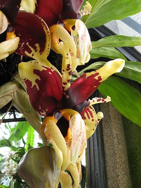 Stanhopea Tigrina orchid