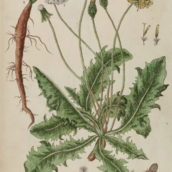 A Curious Herbal by Elizabeth Blackwell